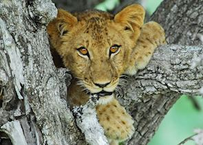 Lion cub in the Selous Game Reserve